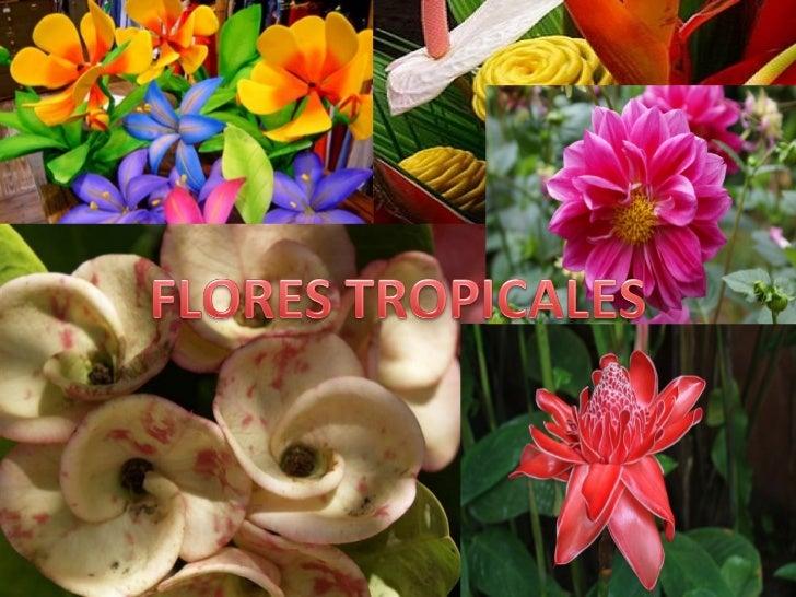 Cuales son?• Las flores tropicales son las que crecen en  climas tropicales y subtropicales, que están  más cerca del ecua...