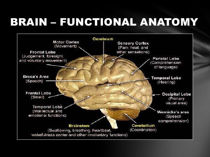 Basic anatomy of brain