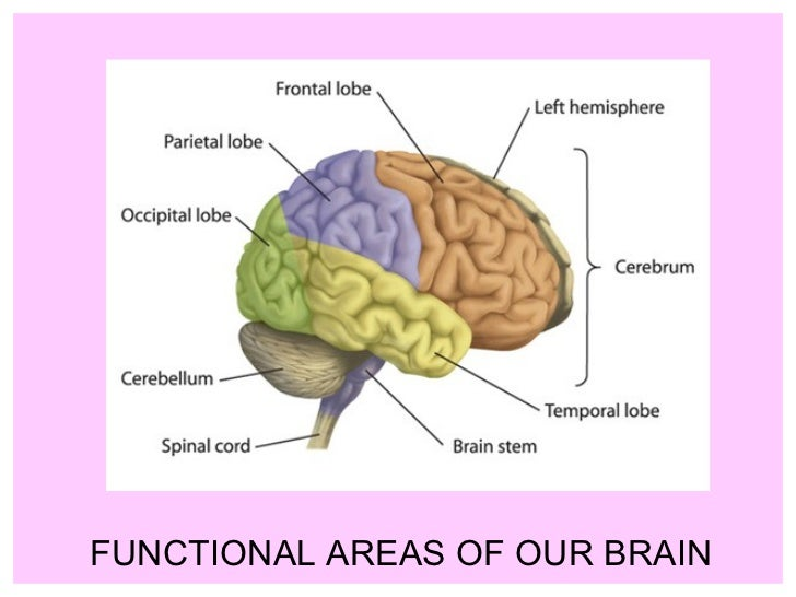 Functional areas of our brain