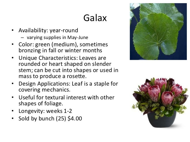 Galax• Availability: year-round   – varying supplies in May-June• Color: green (medium), sometimes  bronzing in fall or wi...