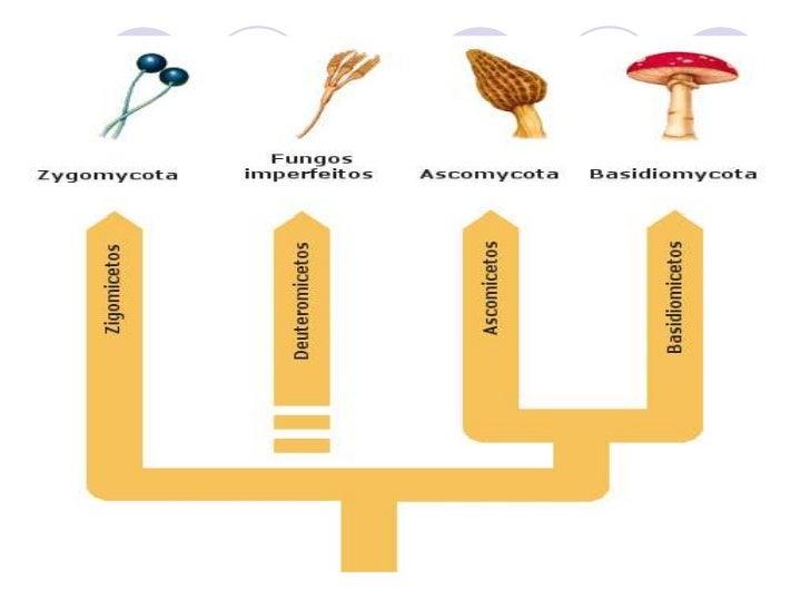 Principais filos do Reino Fungi