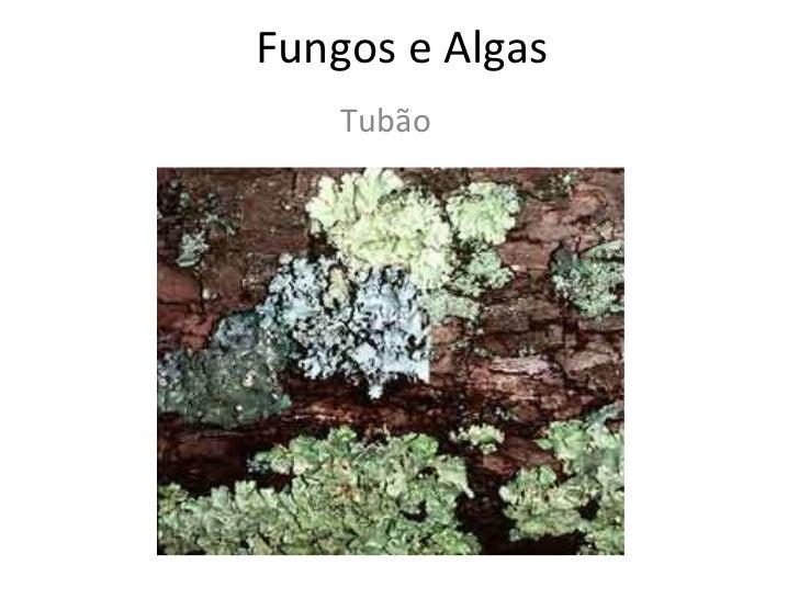 Fungos e Algas Tubão