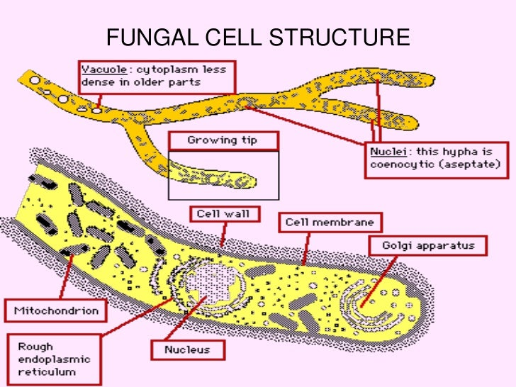 Fungi Diagram Definition Of Basic Structure Of Fungi Chegg