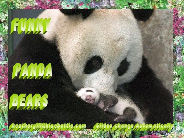 Funny Panda Bears