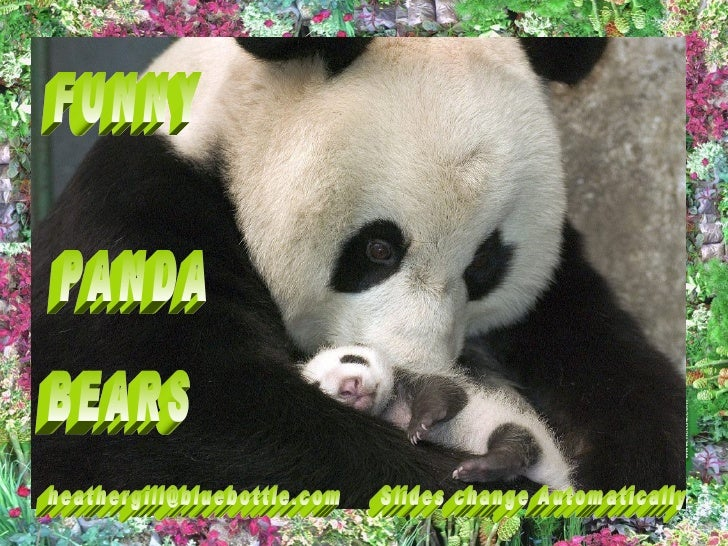 Panda bear funny - photo#10
