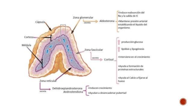 Objetivo nº 2: Describir el sistema endocrino,funciones y anatomía ...