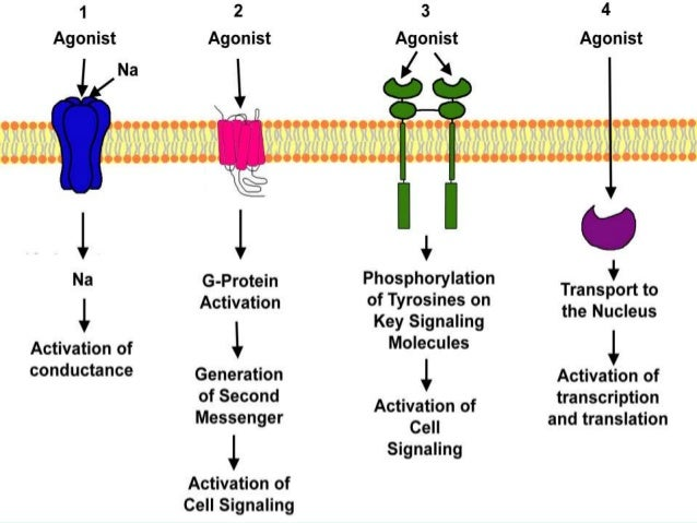 peptide vs. steroid hormone pathways