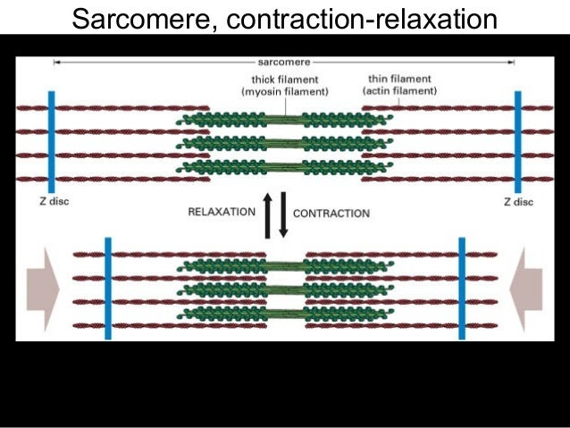 Sarcomere Contraction And Relaxation Sarcomere Contraction