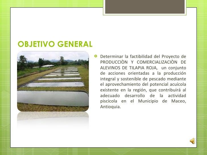 G 359 producci n y comercializaci n de alevinos de tilapia for Proyecto de piscicultura mojarra roja