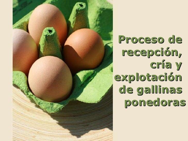 Proceso de  recepción,  cría y  explotación  de gallinas  ponedoras