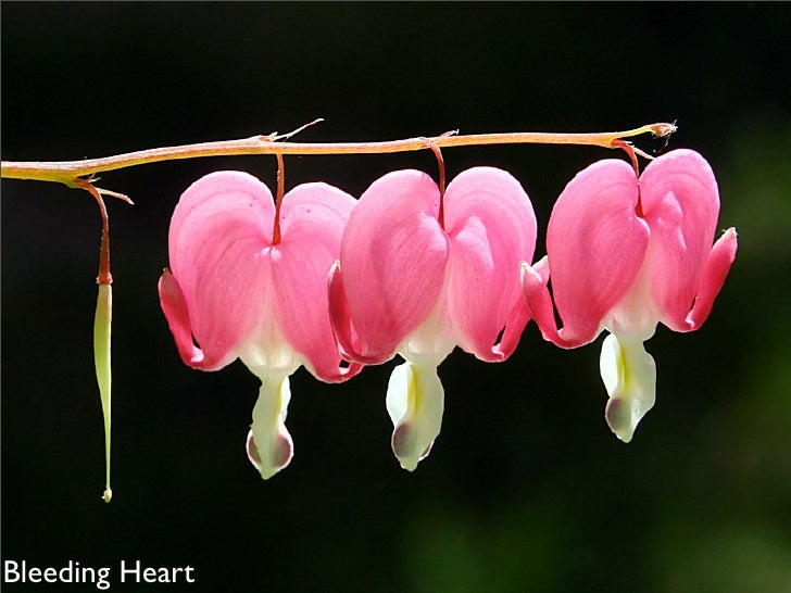 Three flowers and single                  seed pod. Bleeding Heart