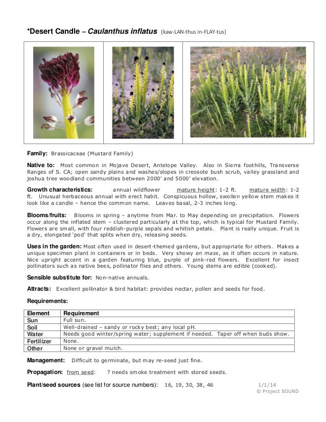 *Desert Candle – Caulanthus inflatus (kaw-LAN-thus in-FLAY-tus) Family: Brassicaceae (Mustard Family) Native to: Most comm...