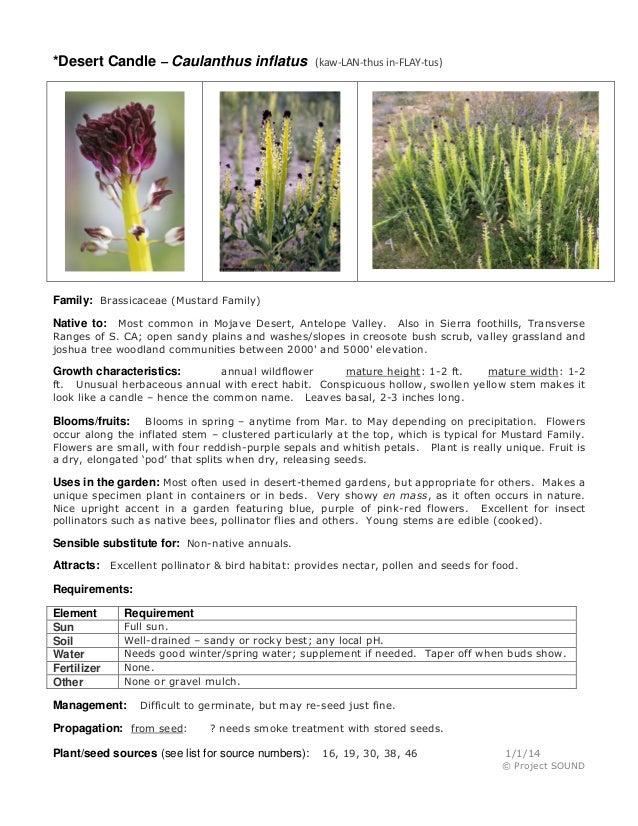 Gardening sheet   caulanthus inflatus
