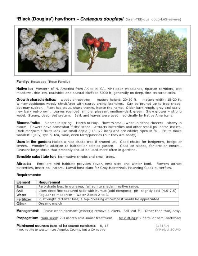 *Black (Douglas') hawthorn – Crataegus douglasii (krah-TEE-gus doug-LAS-ee-eye) Family: Rosaceae (Rose Family) Native to: ...