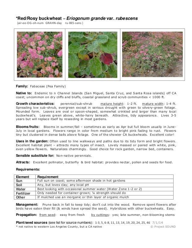 Gardening sheet   eriogonum grande rubescens