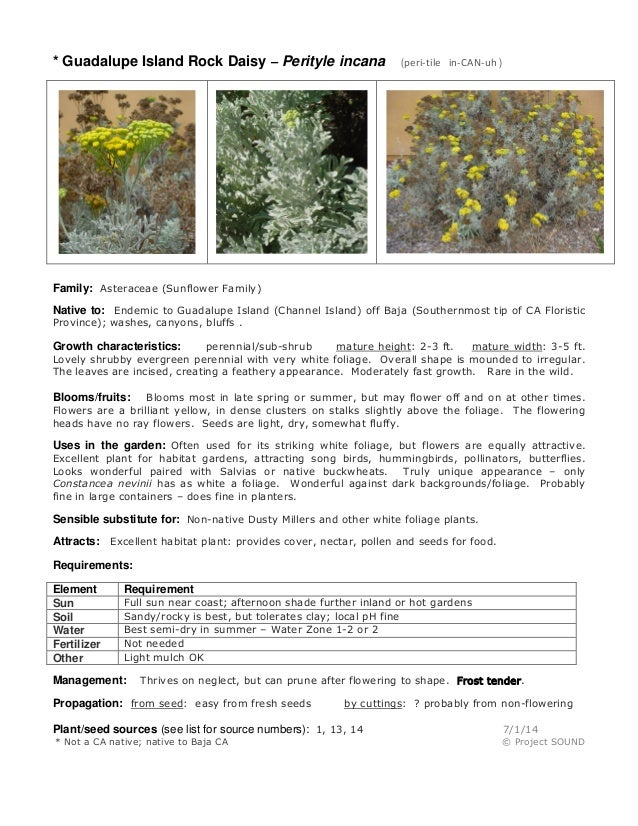 * Guadalupe Island Rock Daisy – Perityle incana (peri-tile in-CAN-uh ) Family: Asteraceae (Sunflower Family) Native to: En...