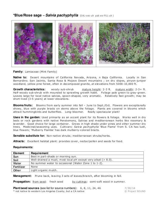 *Blue/Rose sage – Salvia pachyphylla (SAL-vee-uh pak-ee-FILL-uh ) Family: Lamiaceae (Mint Family) Native to: Desert mounta...