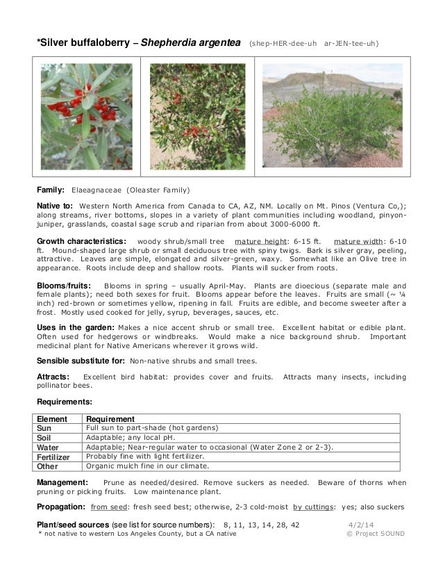 *Silver buffaloberry – Shepherdia argentea (shep-HER-dee-uh ar-JEN-tee-uh) Family: Elaeagnaceae (Oleaster Family) Native t...