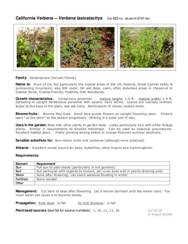 California Verbena – Verbena lasiostachys  (ver-BEE-na las-ee-oh-STAY-kis)  Family: Verbenaceae (Vervain Family) Native to...