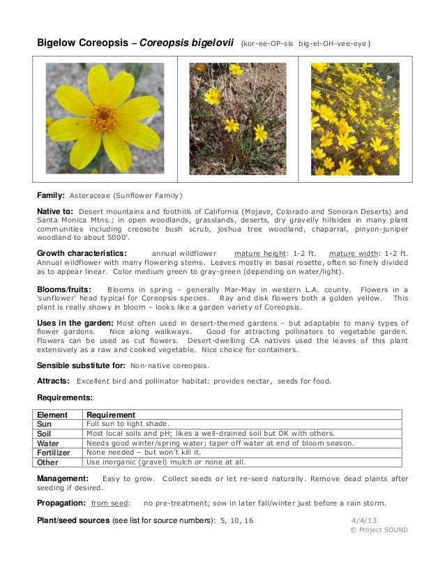 Bigelow Coreopsis – Coreopsis bigelovii                 (kor-ee-OP-sis big-el-OH-vee-eye )Family: Asteraceae (Sunflower Fa...