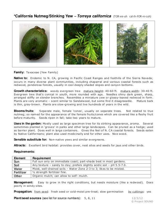 *California Nutmeg/Stinking Yew – Torreya californica  (TOR-ee-uh cal-ih-FOR-ni-cuh)  Family: Taxaceae (Yew Family) Native...