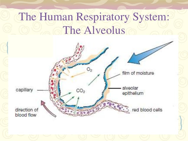 pulmonary gas exchange driven by passive Gas exchange takes place lungs also and a large respiratory system of hydrogen ion concentration returns via the pulmonary veins expiration is passive and.