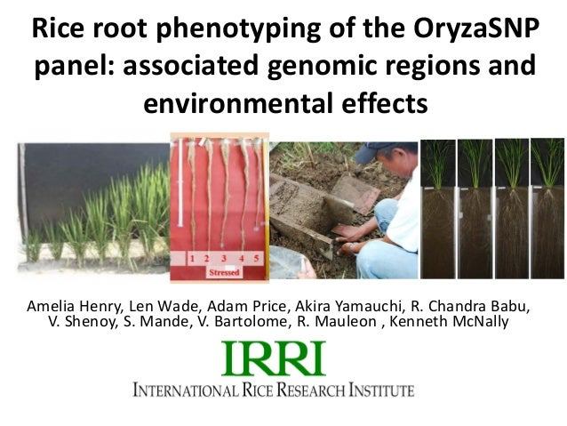 Rice root phenotyping of the OryzaSNP panel: associated genomic regions and environmental effects Amelia Henry, Len Wade, ...