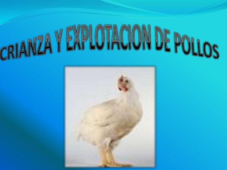 CRIANZA Y EXPLOTACION DE POLLOS<br />