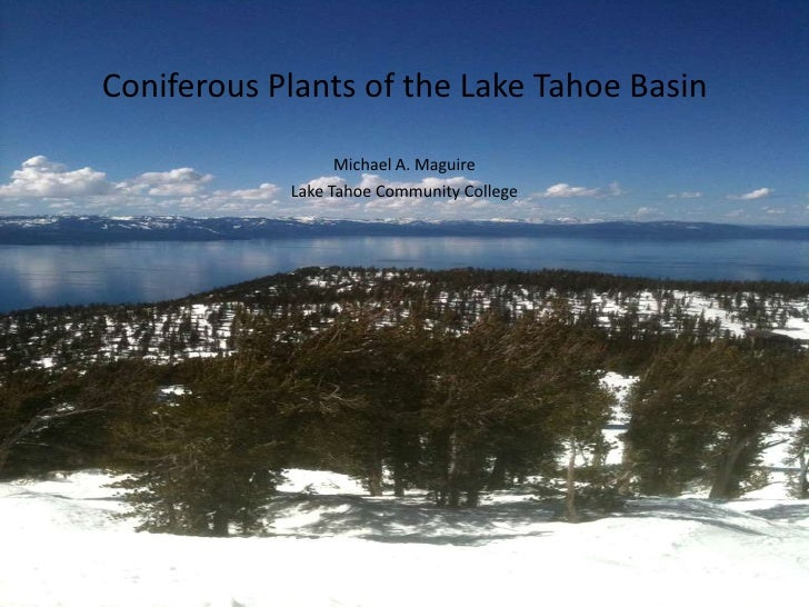 Coniferous Plants of the Lake Tahoe Basin                  Michael A. Maguire            Lake Tahoe Community College