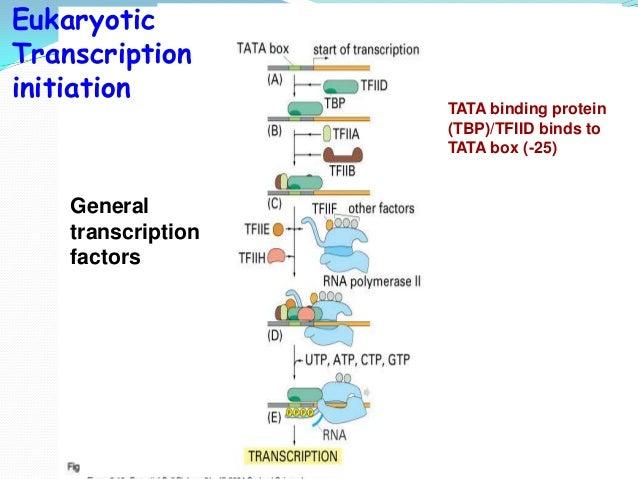 Eukaryotic Transcription Steps Transcription Steps in