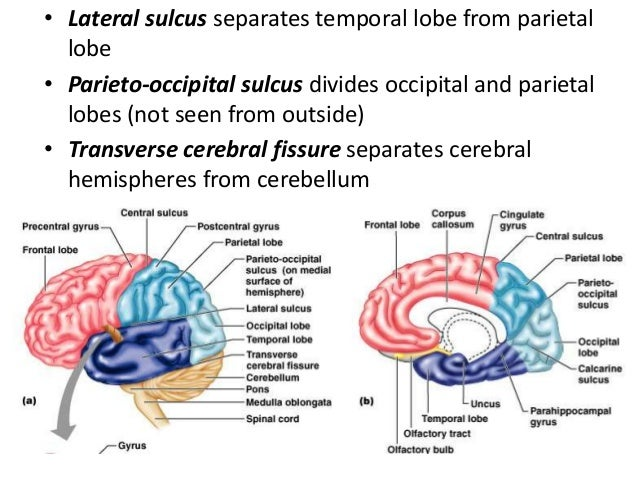 Lobes of The Cerebral Hemisphere Cerebral Hemispheres From