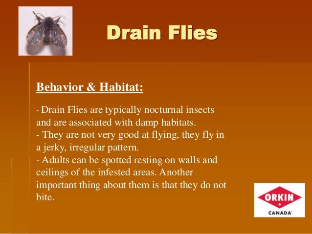 Drain Flies How To Get Rid Of Drain Flies 1