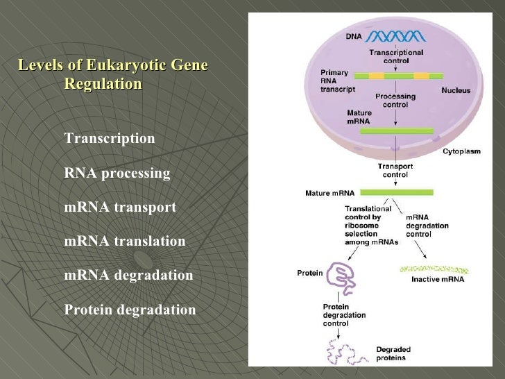 Levels of Gene Expression Levels of Eukaryotic Gene