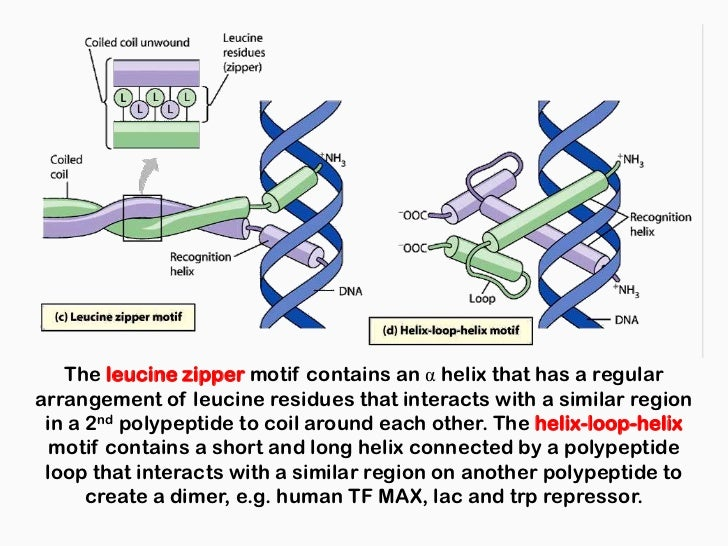 steroid receptors zinc fingers