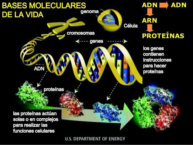 genoma Célula cromosomas genes los genes contienen instrucciones para hacer proteínas ADN proteínas las proteínas actúan s...