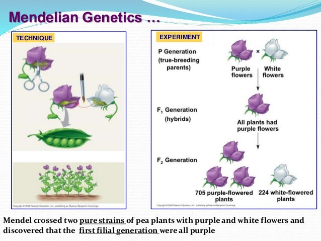 mendelian genetics its behavior on two The different between the two is the non-mendelian do not follow the law of inheritance  and in the non-medelian it doesn't segregate the alleles unlike the mendelian which composed only by 2 alleles but in non-mendelian it composed by more than two which it makes complicated than mendelian genetics when it comes to phenotype in mendelian.