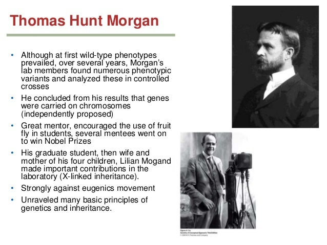 an analysis of drosophila melanogaster by thomas hunt morgan Here we are in back in 1910, and there's thomas hunt morgan right there for the last few years, he has been researching drosophila melanogaster , the common fruit fly, looking for mutations that .