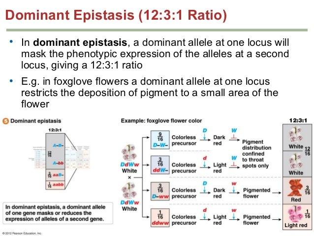 Dominant Epistasis 1231 Redundant Genes 151 Drag picture to ...