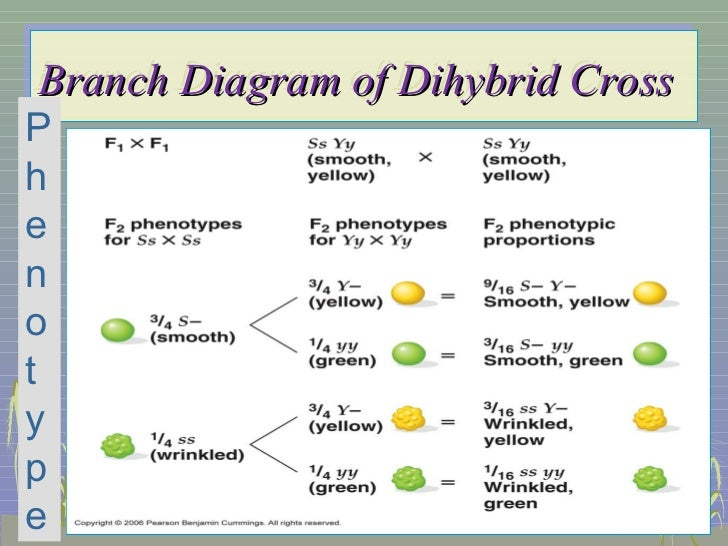 Trihybrid Cross Worksheet - Davezan