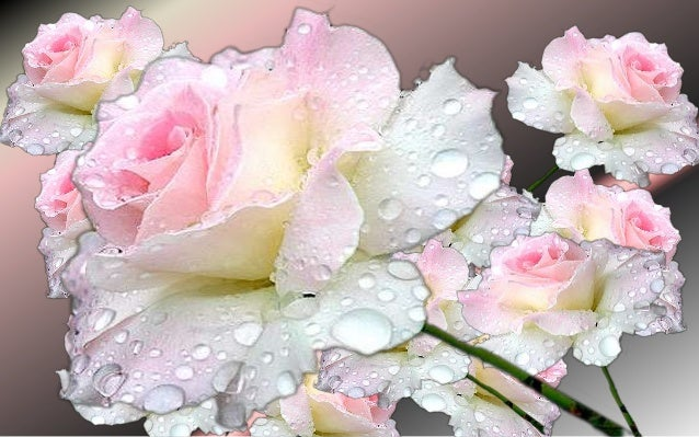 Gentleness ( Pink Rose)