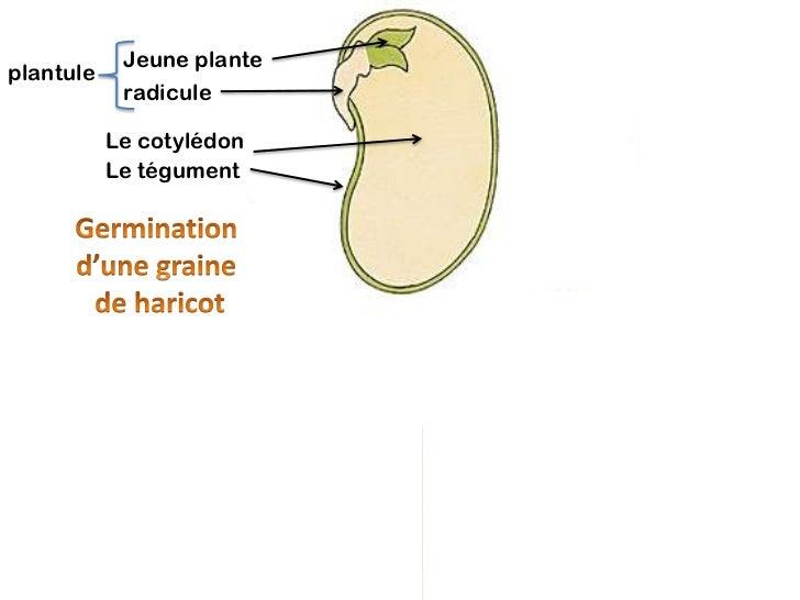 Jeune planteplantule            radicule           Le cotylédon           Le tégument