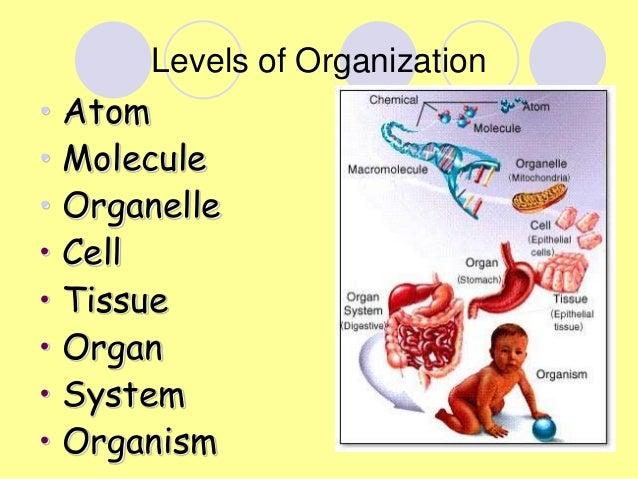 Biological organization :: biology