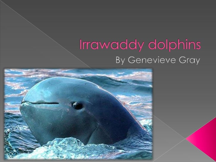 Irrawaddy dolphins are verykind, smart, and helpfulSAVE IRRAWADDYDOLPHINS!!!!!!!!!!!!!!!!!!!!!!!!!!!!!