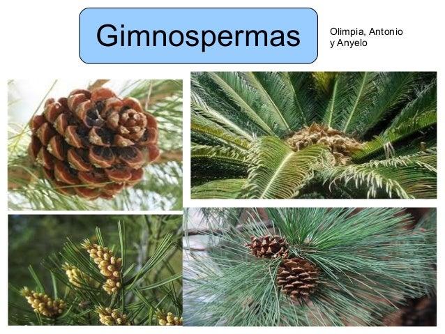 Gimnospermas Olimpia, Antonioy Anyelo