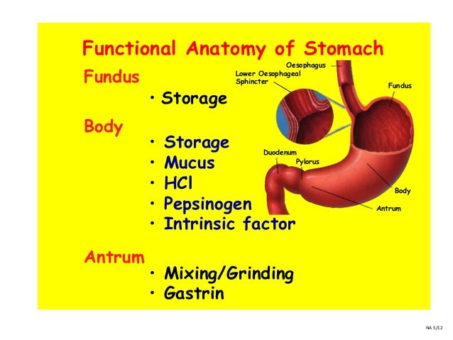 Fundus of Stomach Function Anatomy of Stomach Fundus