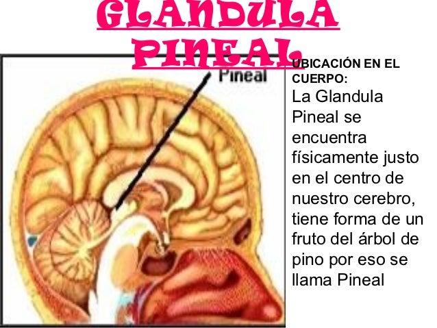 GLANDULA PINEAL      UBICACIÓN EN EL      CUERPO:      LaGlandula      Pinealse      encuentra      físicamentejusto...