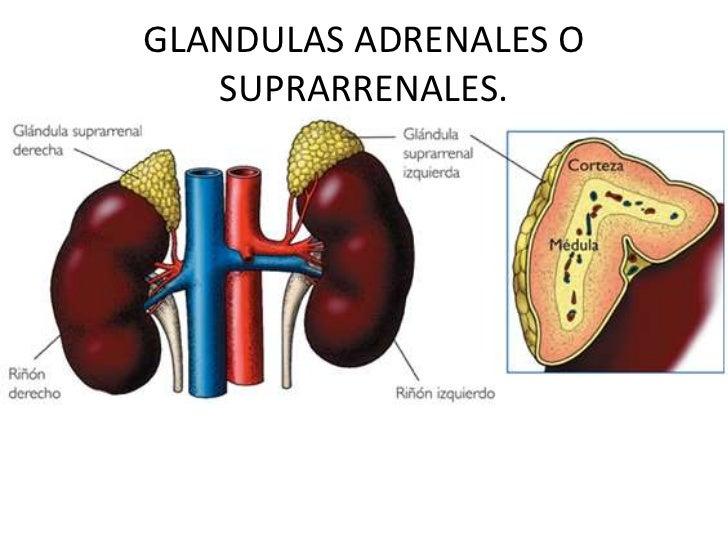 GLANDULAS ADRENALES O SUPRARRENALES.<br />