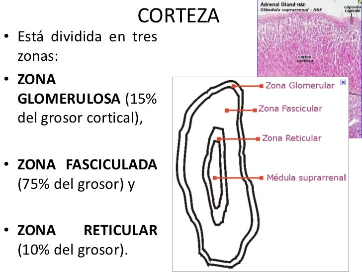 glandulas suprarrenales esteroides