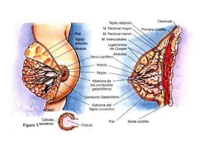 las hormonas esteroides son lipidos