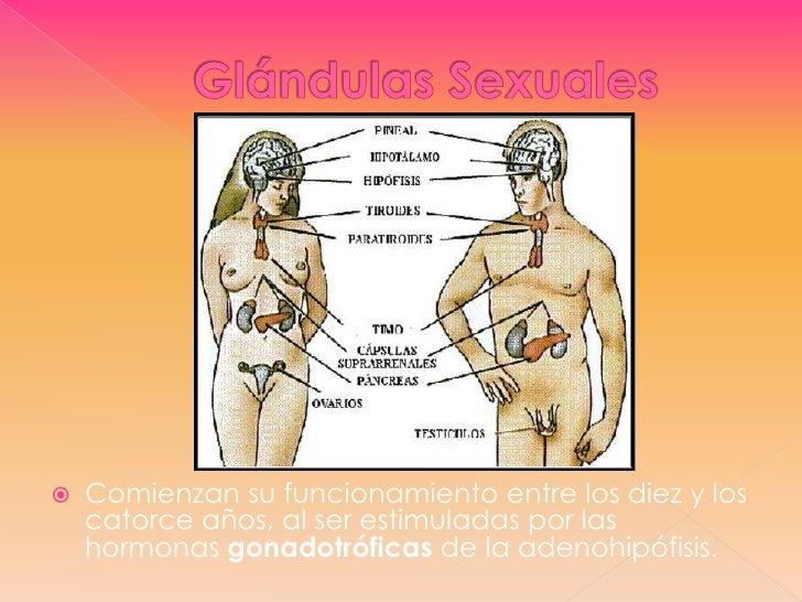 Glándulas Sexuales<br />Comienzan su funcionamiento entre los diez y los catorce años, al ser estimuladas por las hormonas...